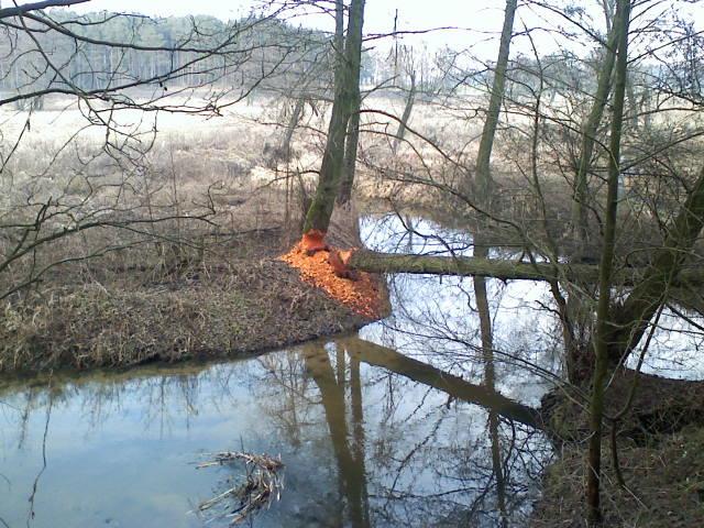 ślady bytowania bobrów nad Głuszynką