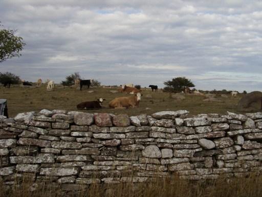 Olandia-krowy na pastwisku