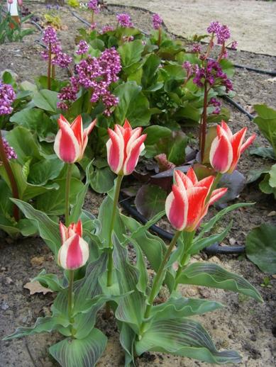 """tulipany """"Pinokio"""" w naszym ogrodzie"""