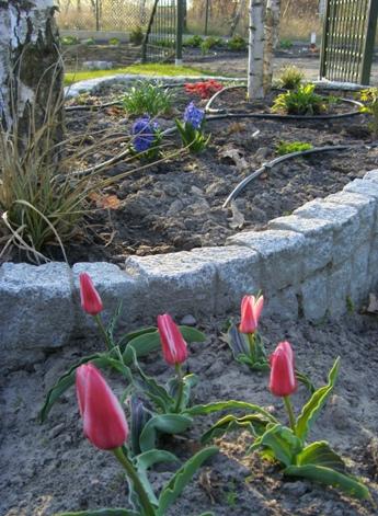 Tulipany w naszym ogrodzie
