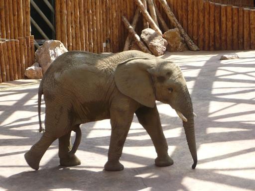 Słoń w słoniarni