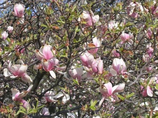 Magnolia w Krakowie