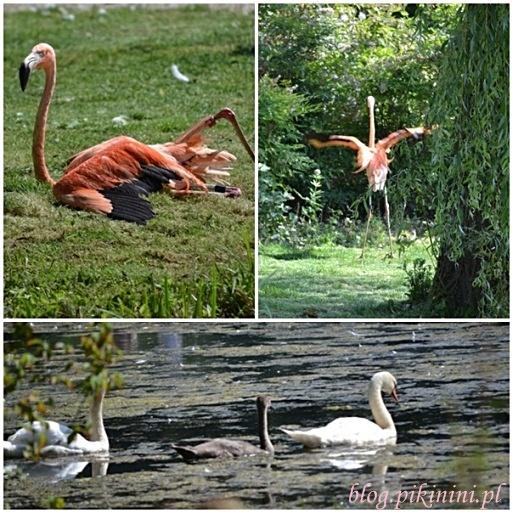 Flamingo - łabędziowa bitwa