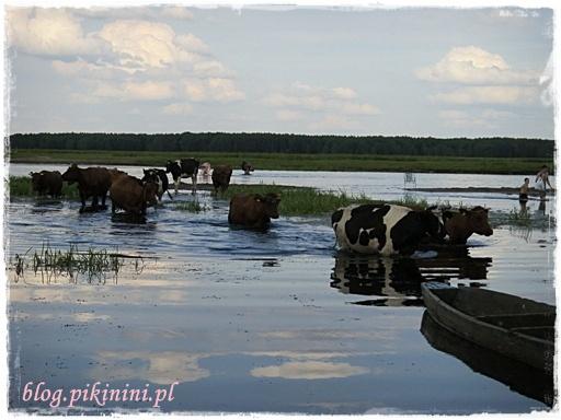 Szczęśliwe krowy z Brzostowa