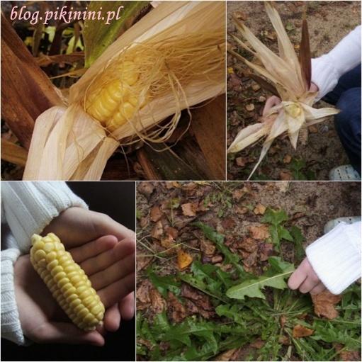 Kukurydza i mlecze w ogrodzie