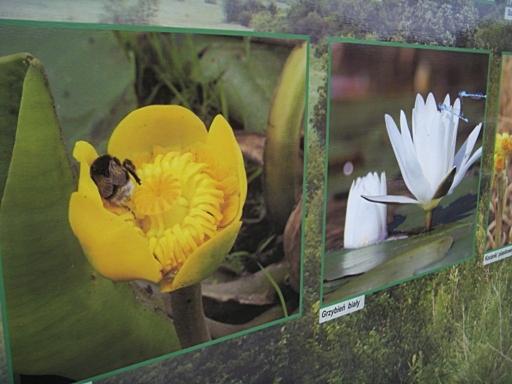 Kwiaty nad Cybiną
