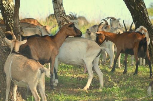 Kozy w Smolniku