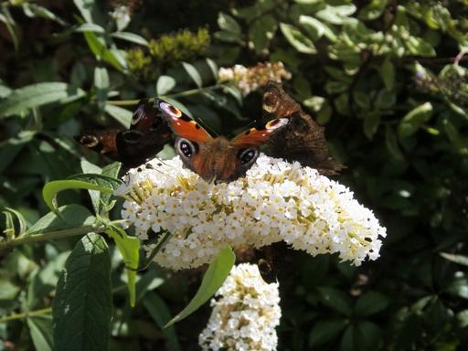 Rabata motylowa w Pikinini