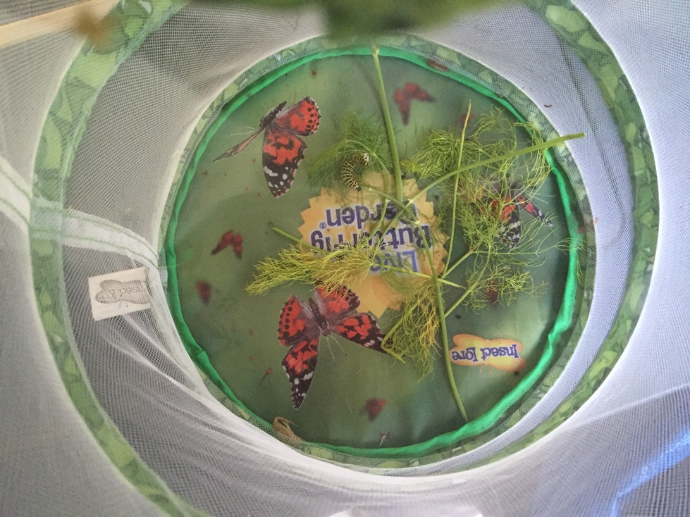 Gąsienice pazia królowej