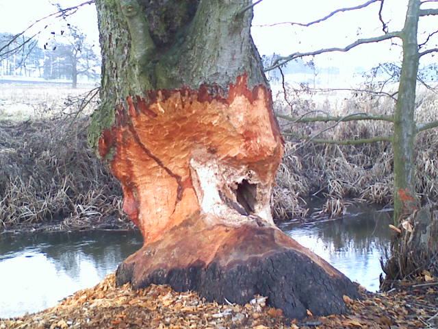 Drzewo i bobry
