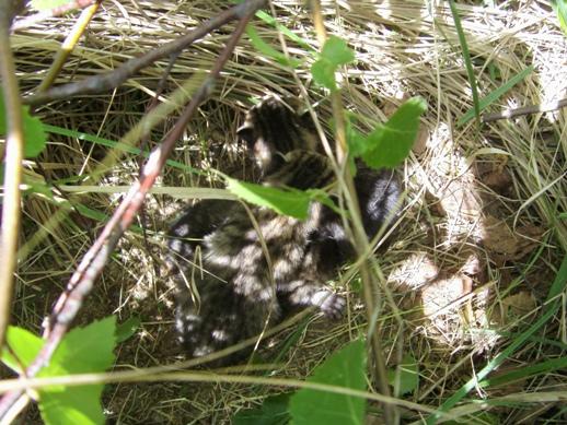 kotki ukryte w trawie
