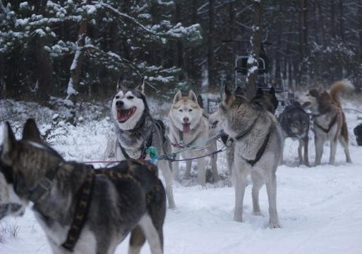 Psy z Syberiada Adventure