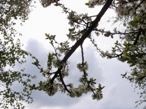 Kwitnące śliwy
