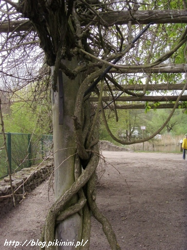 plątanina gałęzi w arboretum