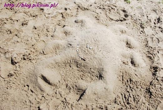 Krab z piasku