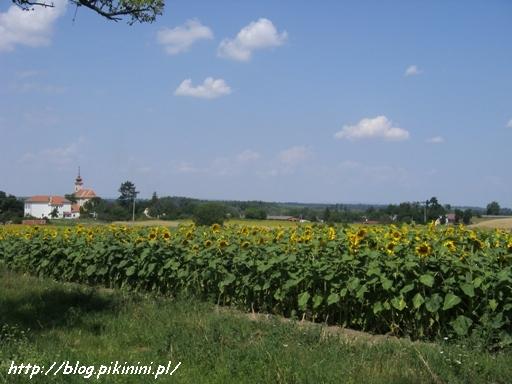 Morawskie słoneczniki