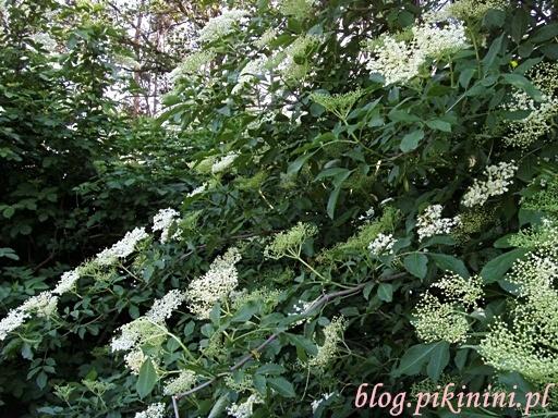 Krzew czarnego bzu
