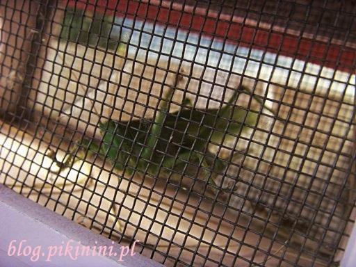 Pasikonik w domku dla owadów