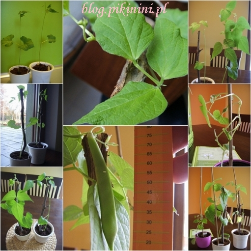 Green factory Navir - rośliny dorosłe