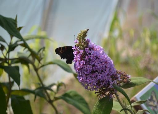 Motyl na budlei
