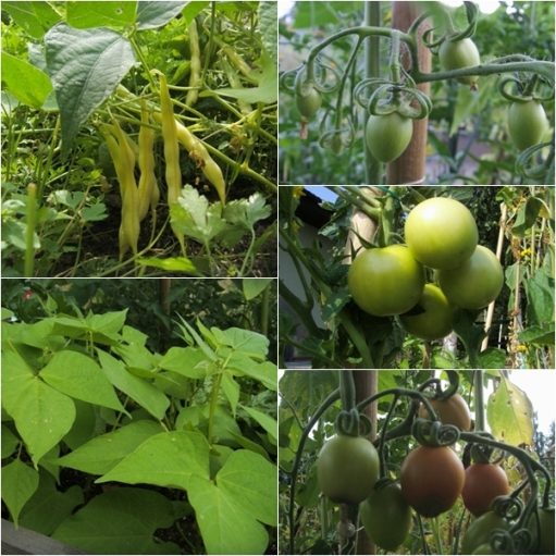 fasolka i pomidorki