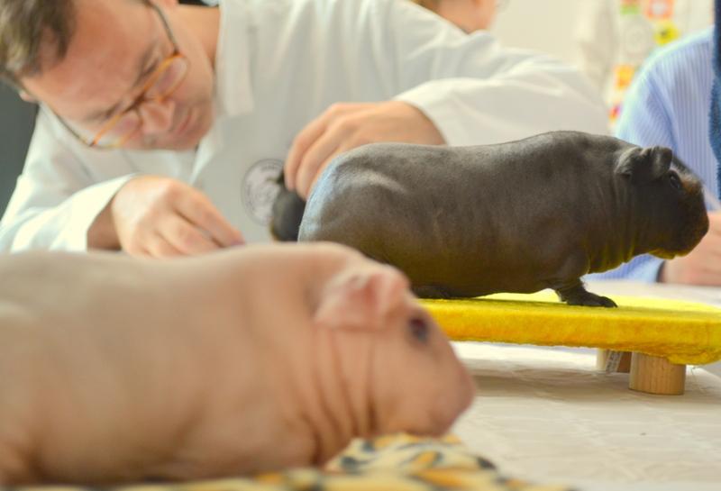 Wystawa świnek morskich