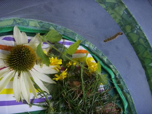 Gąsienica w zestawie motylowym