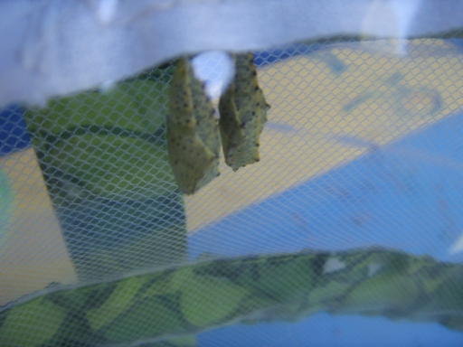 Poczwarki motyla