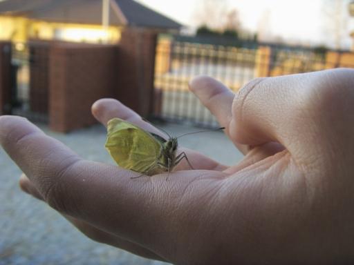 Pierwszy wiosenny motyl