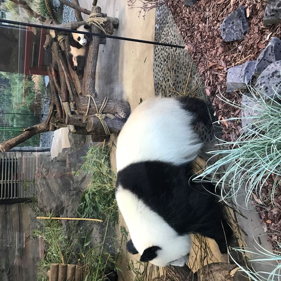 Pandy wielkie w Berlinie