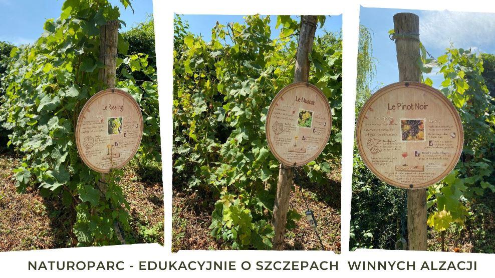 Winnice w Alzacji